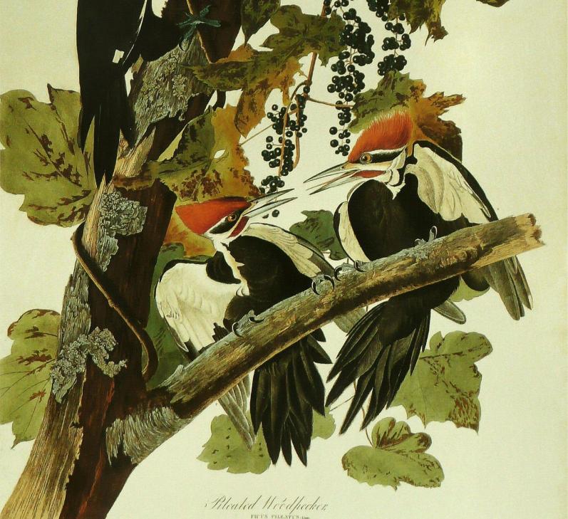 John_James_Audubon_-_Pileated_Woodpecker